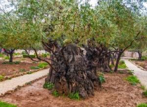L'ennemi de Dieu dans Exhortation 13036289-olives-a-jerusalem-jardin-de-gethsemani-israel-300x219